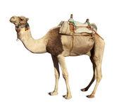 Camel over white — Foto de Stock