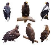 Prey birds. Isolated over white — Stock Photo