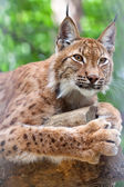 Lynx against wildness area — Stock Photo