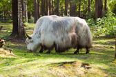 White yak — Stock Photo