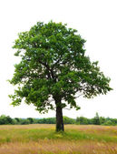 Oak tree, isolated over white background — Stockfoto