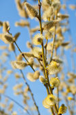 Yellow pussy willow — Stock Photo