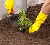 Planting tomato seedling — Stock Photo
