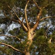 Stock Photo: Pines tree