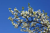 White plum blossom — Stock Photo