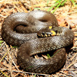 Grass snake (Natrix), is a european non-venomous snake — Stock Photo