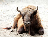 Aurochs is on the ground (Bison bonasus) — Stock Photo