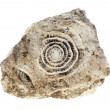 Stone with old fossilized seashells on the white background - Stock Photo