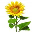 Big sunflower — Stock Photo #9839448