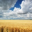 Meadow of wheat — Stock Photo #9839460
