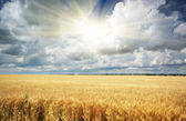 Meadow of wheat — Stock Photo