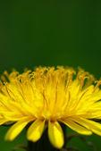 Macro of dandelion — Stock Photo