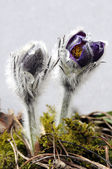 A beautiful pasque flower — Stock Photo