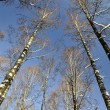 Birch forest in winter — Stock Photo