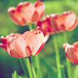 Red tulips in sunny garden - Foto de Stock