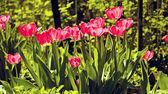 Red tulips in sunny garden — Stock Photo