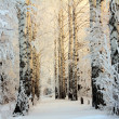 Stock Photo: Winter birch woods in morning light