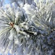 Frozen twigs of pine macro — Stock Photo