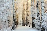 Winter birch woods in morning light — Stock Photo