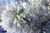 冷冻小树枝的松宏 — 图库照片