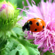 Ladybug on flower macro — Stock Photo