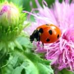 Ladybug on flower macro — Stock Photo #8844272