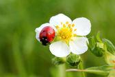 Ladybug on white flower macro — Stock Photo