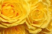 Yellow rose petals with drops close-up — Stock Photo
