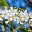 Bird cherry tree flowers macro — Stock Photo #9572700