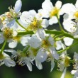 Bird cherry tree flowers macro — Stock Photo #9572737