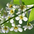 Bird cherry tree flowers macro — Stock Photo #9572779