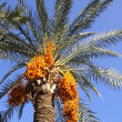 Date palm tree with dates — Stock Photo #8445169