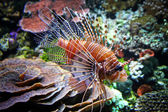 The Red lionfish (Pterois volitans) — 图库照片