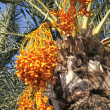 Date palm tree with dates - Stock Photo