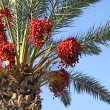 Date palm tree with dates — Stock Photo