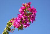 Zweig der bougainvillea-blüten — Stockfoto