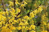 Yellow forsythia shrub — Stock Photo