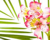 Alstroemeria rosada — Foto de Stock