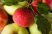 Raccolto di mele — Foto Stock