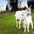 Goat and goatling — Stock Photo