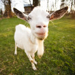 Stock Photo: Distorted goat