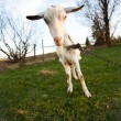 Distorted goat — Stock Photo