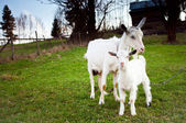 Goat and goatling — Stock Photo