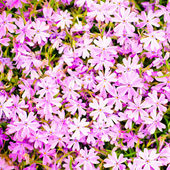 Pink flower background — Stock Photo