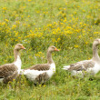 Stock Photo: Gooses