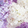 Stock Photo: Lilac background