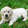 Golden retriever - Stok fotoraf