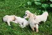 Playful puppies — Stock Photo