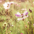 Pink cosmos flowers — Stock Photo #9065179
