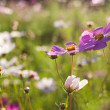 Pink cosmos flowers — Stock Photo #9065218